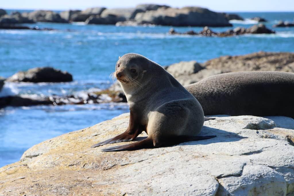 Seal at Kaikoura Peninsula Colony